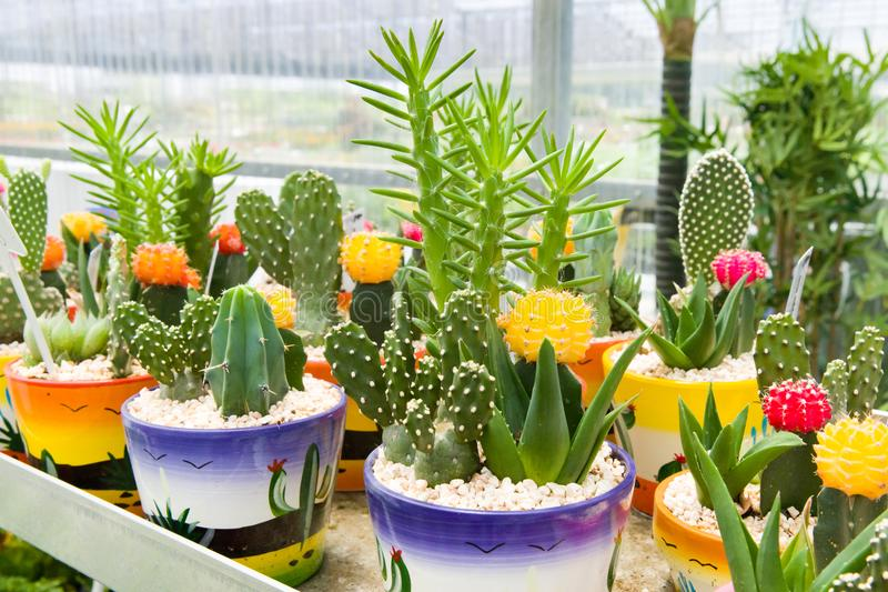 Collection cactus in a colorful pots royalty free stock photos