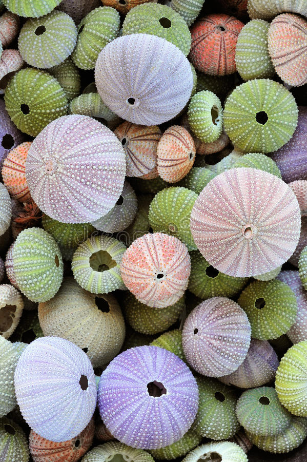 Collection of colorful sea urchin shells. Colorful collection of sea urchin shells with a variety of sizes