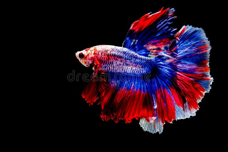 Collection of colorfull Fighting fishBetta fish on black background. Collection of colorfull Fighting fishBetta fish on black background stock image