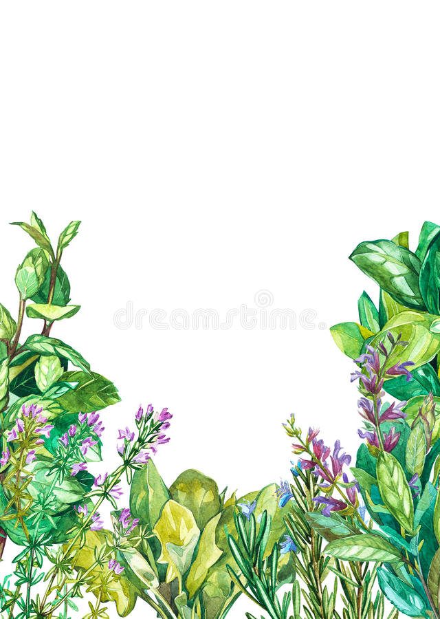 Collection of Cooking plants: Spinach, sage, basil, oregano, beetroot, rosemary, thyme. Watercolor painting, realistic. Collection of Cooking plants: Spinach royalty free illustration