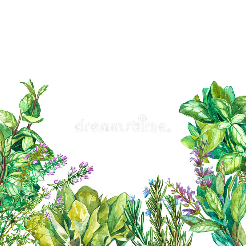 Collection of Cooking plants: Spinach, sage, basil, oregano, beetroot, rosemary, thyme. Watercolor painting, realistic. Collection of Cooking plants: Spinach vector illustration