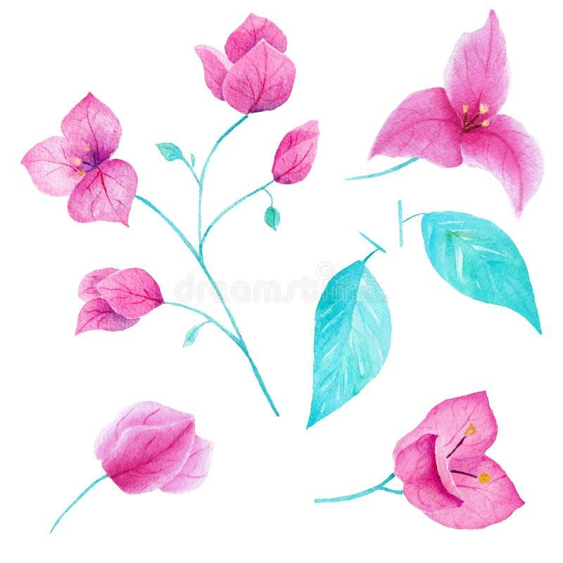 Collection d'aquarelle de fleur de Bouganvillea sur le fond blanc Peut être employée pour la carte, décoration, invitation, l'imp illustration stock