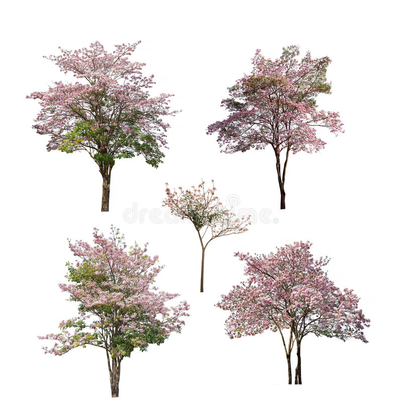 Collection d'arbres avec la fleur rose d'isolement sur le fond blanc photographie stock