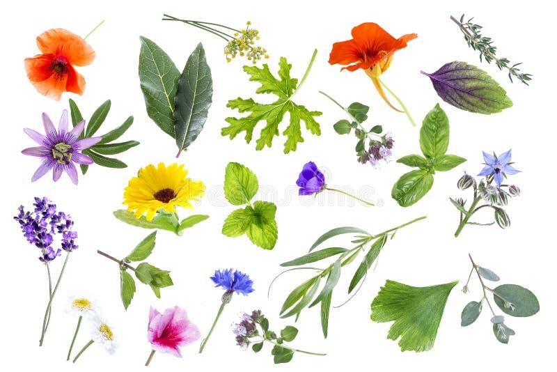 Collection d'herbes fraîches et de fleurs médicinales d'isolement sur le fond blanc photos libres de droits