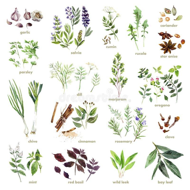 Collection d'herbes tirées par la main d'aquarelle sur le fond blanc illustration libre de droits