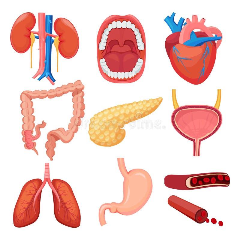 Collection d'organes humains Le muscle d'estomac de poumon de foie de cerveau dirigent les illustrations médicales d'anatomie illustration de vecteur