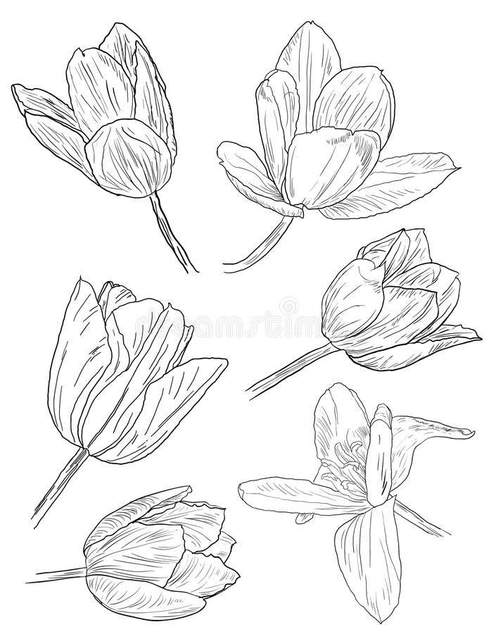 Download Collection Of Daffodil Sketches Stock Illustration - Image: 19220463