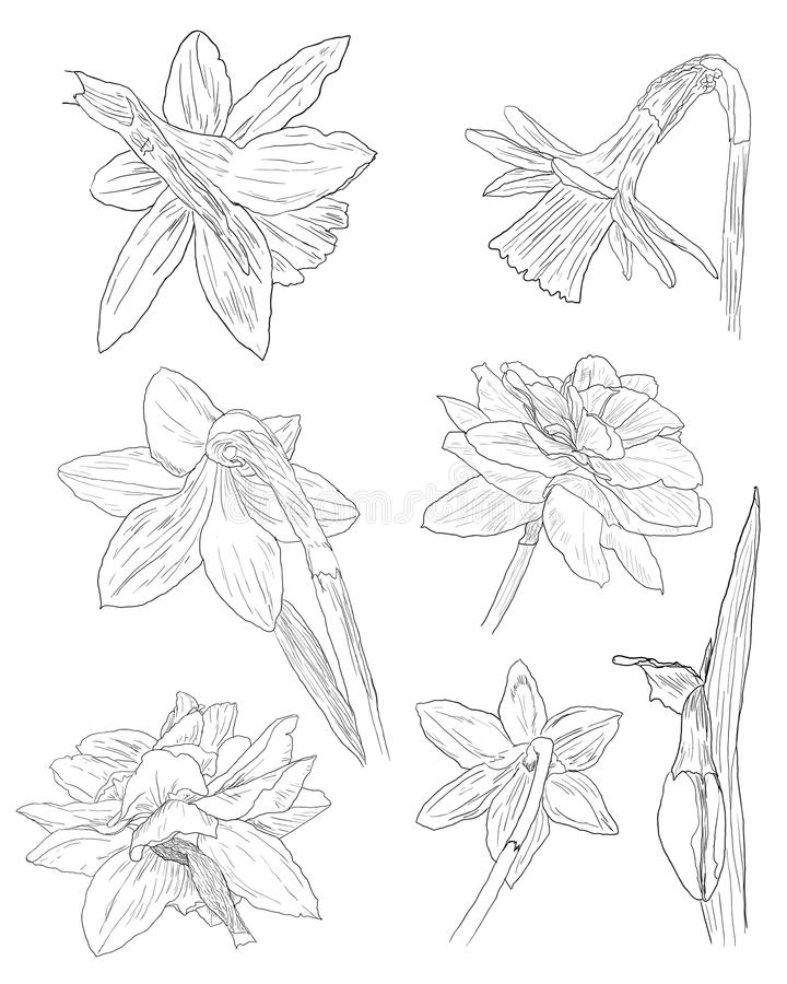 Collection of daffodil sketches stock image