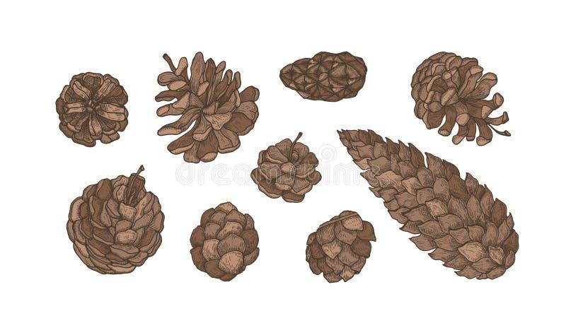 Collection de cônes des arbres coniféres à feuilles persistantes - pin, sapin, mélèze Placez des dessins botaniques élégants Paqu illustration stock