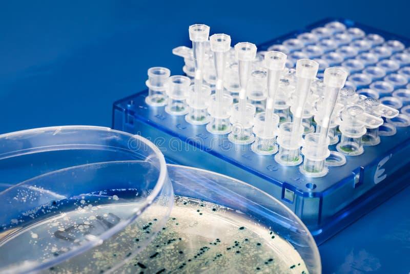 Collection de colonies bactériennes de plat d'agar image libre de droits
