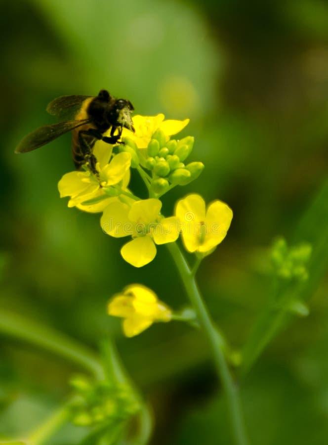 collection de miel par une abeille photo stock