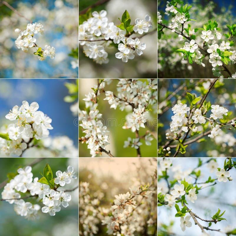 Collection de plans rapprochés de floraison de prunier de beau ressort image libre de droits