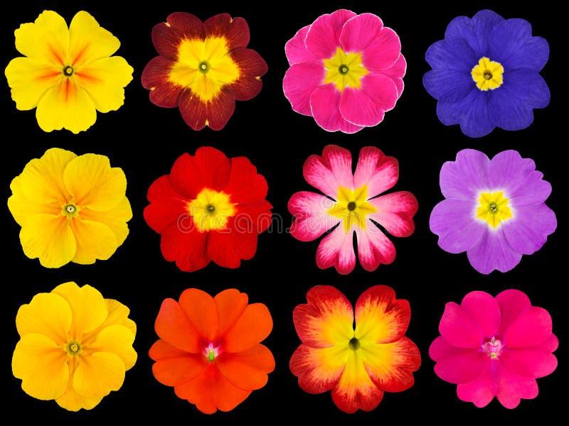Collection de primevères colorées d'isolement sur le noir photographie stock libre de droits