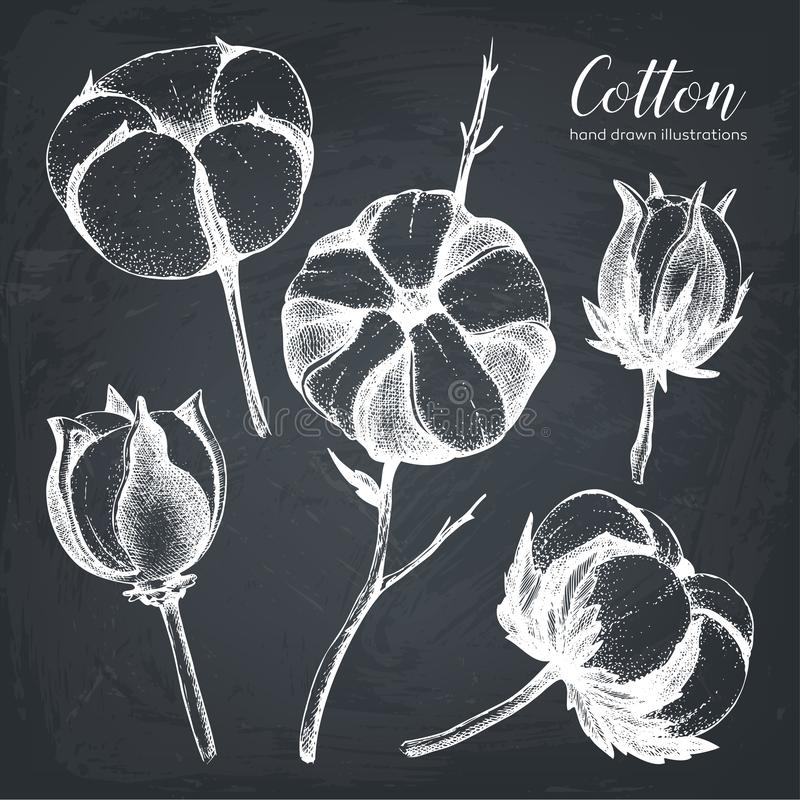 Collection de vecteur de branches tirées par la main de coton Ensemble de cru d'illustrations de bourgeon floraux de coton Croqui illustration stock