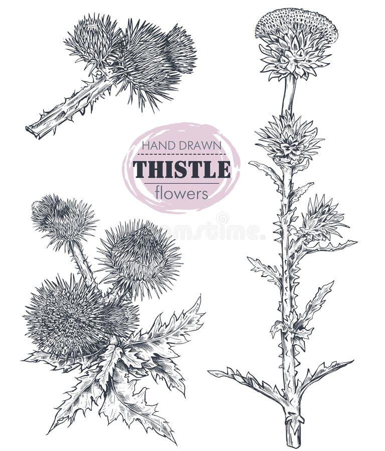 Collection de vecteur de plante tirée par la main de chardon ou de Carduus, de feuille, de bourgeon et de fleur illustration libre de droits