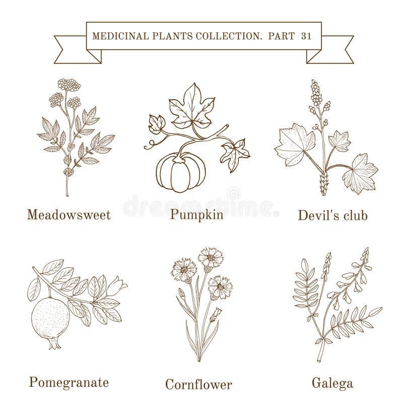 Collection de vintage d'herbes et de plantes médicales tirées par la main, meadowsweet, potiron, club de diable, pomergranate, bl illustration stock