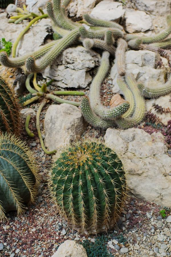 Collection of different cacti in tropical greenhouse. Cactus in gardening, selective focus, nature, plant, natural, flora, background, botanical, botany royalty free stock image