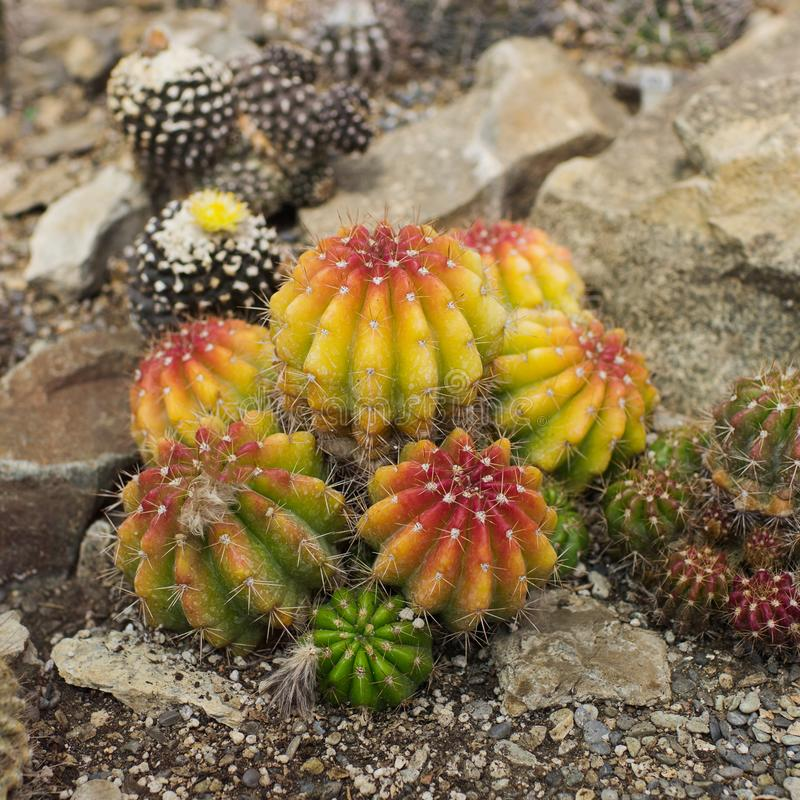 Collection of different cacti in tropical greenhouse. Cactus in gardening, selective focus, nature, plant, natural, flora, background, botanical, botany stock images