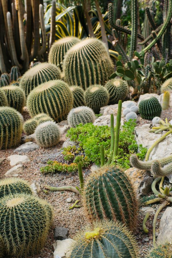 Collection of different cacti in tropical greenhouse. Cactus in gardening, selective focus, nature, plant, natural, flora, background, botanical, botany stock photography