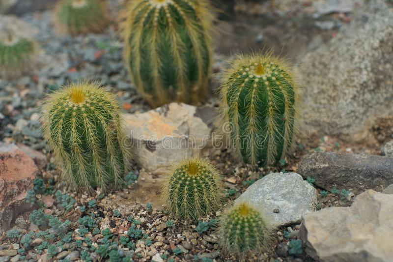Collection of different cacti in tropical greenhouse. Cactus in gardening, selective focus, nature, plant, natural, flora, background, botanical, botany royalty free stock photos