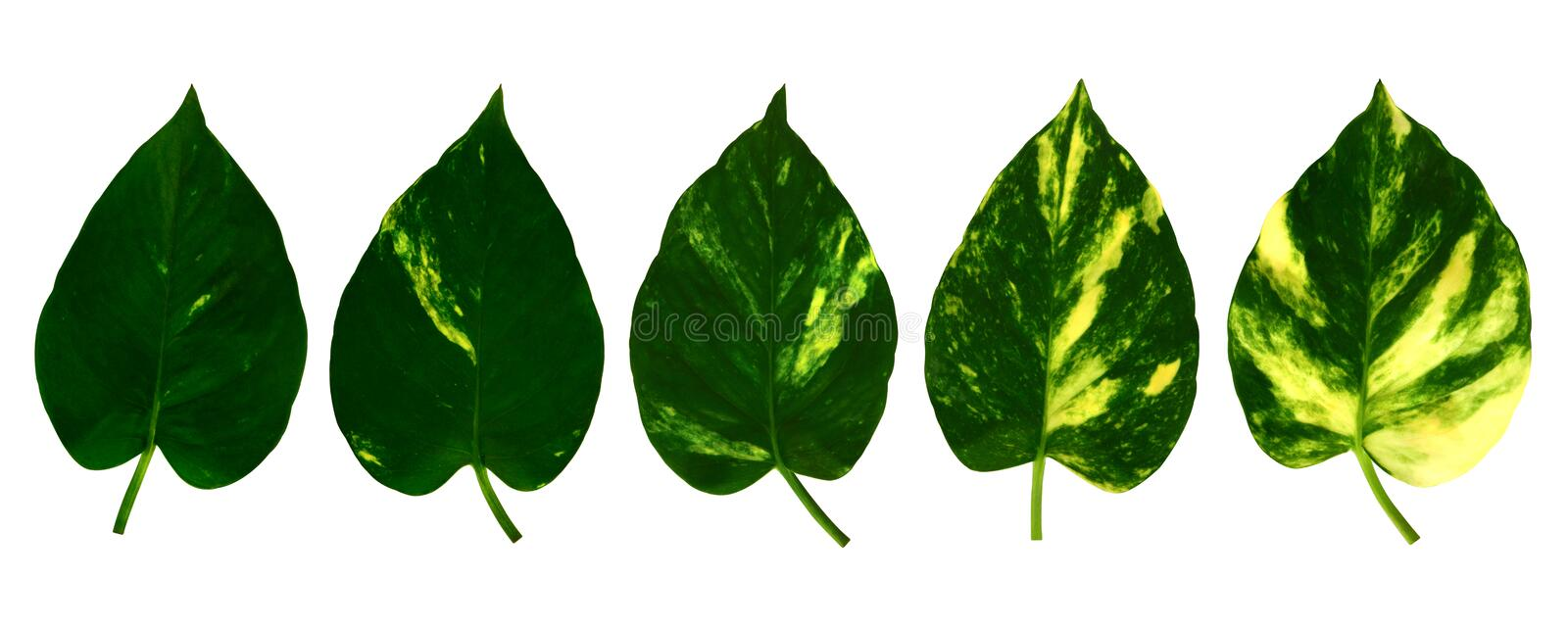Collection different pattern of golden pothos leaves isolated on white background royalty free stock image