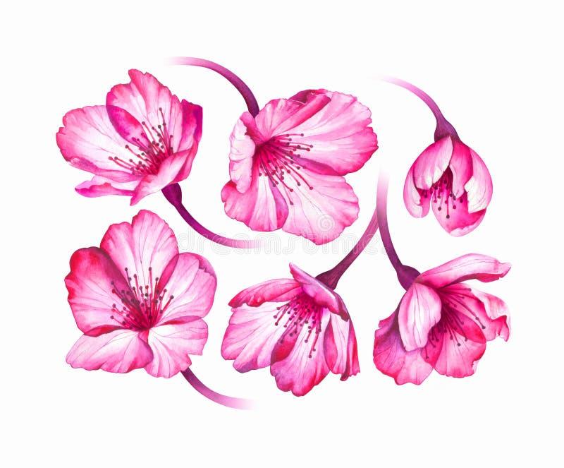 Collection douce de fleurs de Sakura d'isolement sur le fond blanc illustration de vecteur