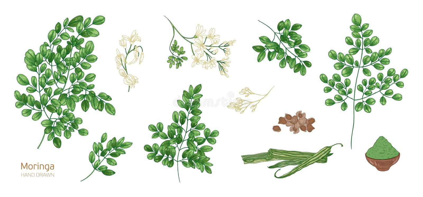 Collection of elegant detailed botanical drawings of Moringa oleifera leaves, flowers, seeds, fruits. Bundle of parts of. Tropical cultivated plant isolated on stock illustration