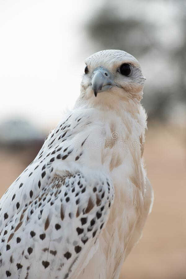 White Falcon Bird Images - Download 6,706 Royalty Free ...