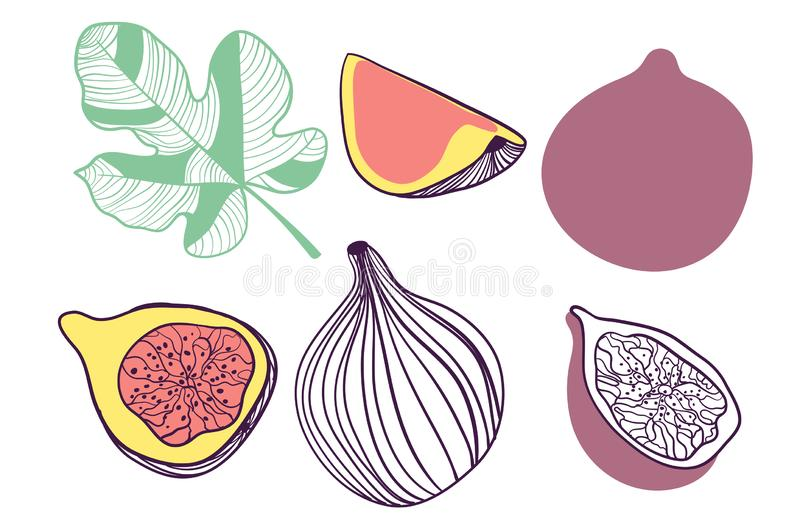 Collection of figs. Fruit, leaf and piece of fig. Vector hand drawn illustration in modern trendy flat style for web, print royalty free illustration