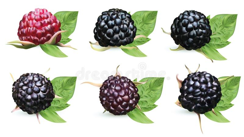 Collection fresh ripe blackberry with green leaves isolated on white background. Summer berry closeup. Beautiful black. Raspberry. Banner. Vector illustration royalty free illustration