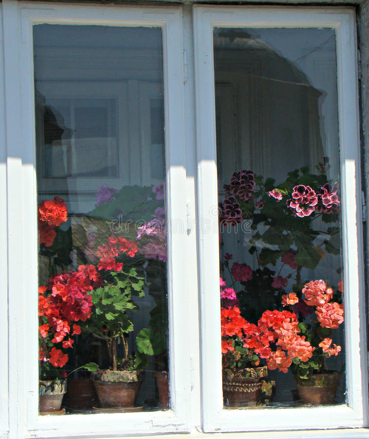 Collection of geraniums stock images
