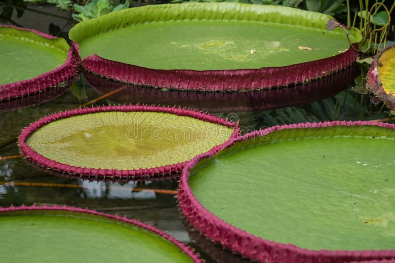 Collection of giant lily pads. Sitting on very still water stock image