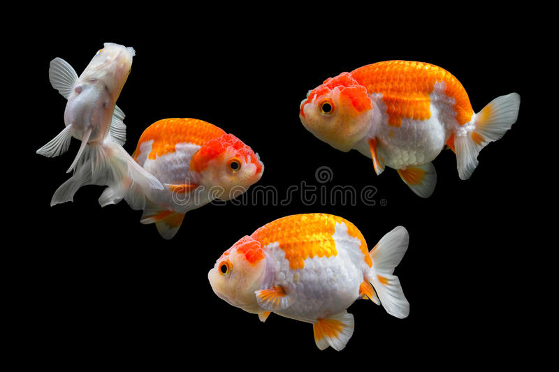 Collection of goldfish royalty free stock photos