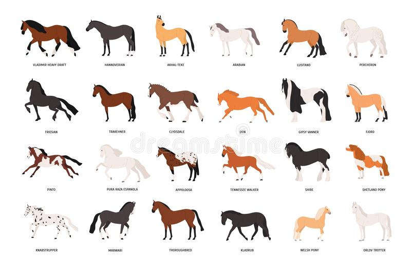 Collection of horses of various breeds isolated on white background. Bundle of gorgeous domestic equine animals of stock illustration