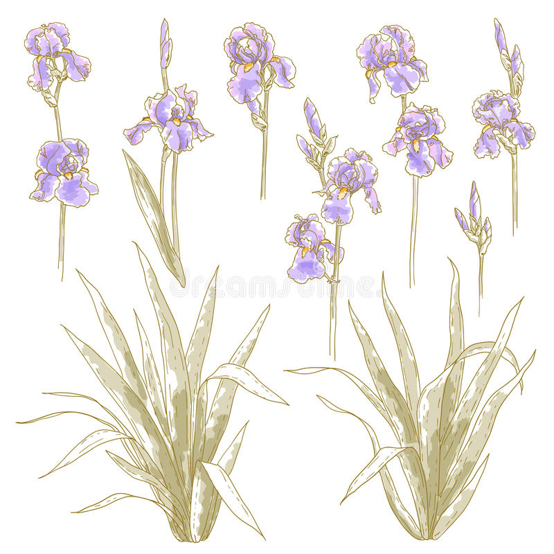 Download Collection Of Iris Flowers Royalty Free Stock Photos - Image: 21609658