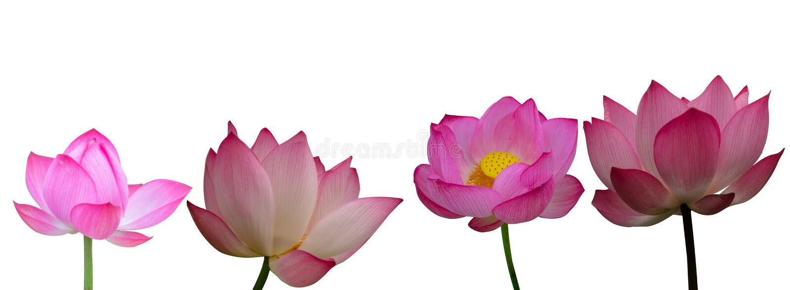 Collection of Isolated pink lotus on a white background stock image