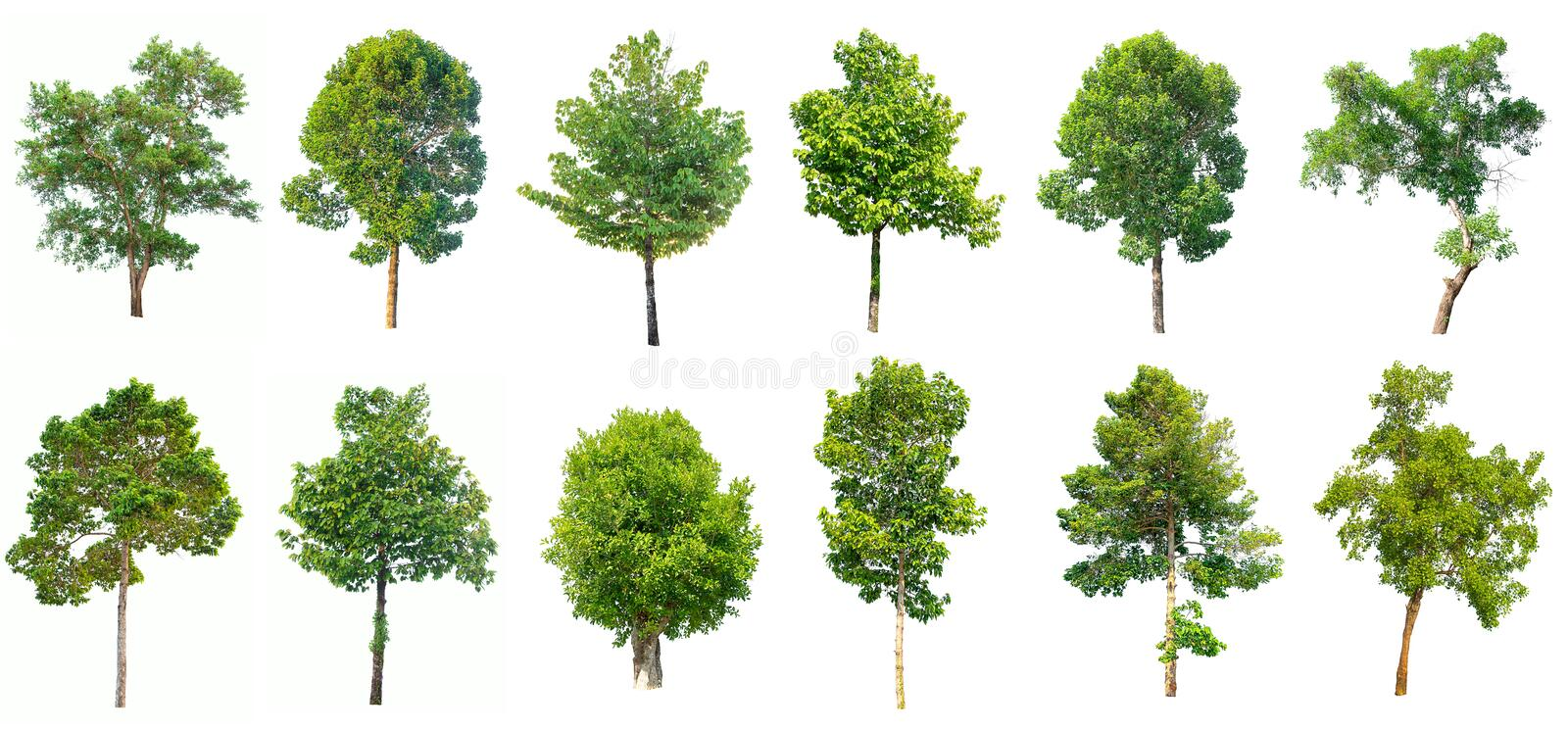 Collection of Isolated tree on white background. Collection of Isolated tree with green leaves on white background stock images