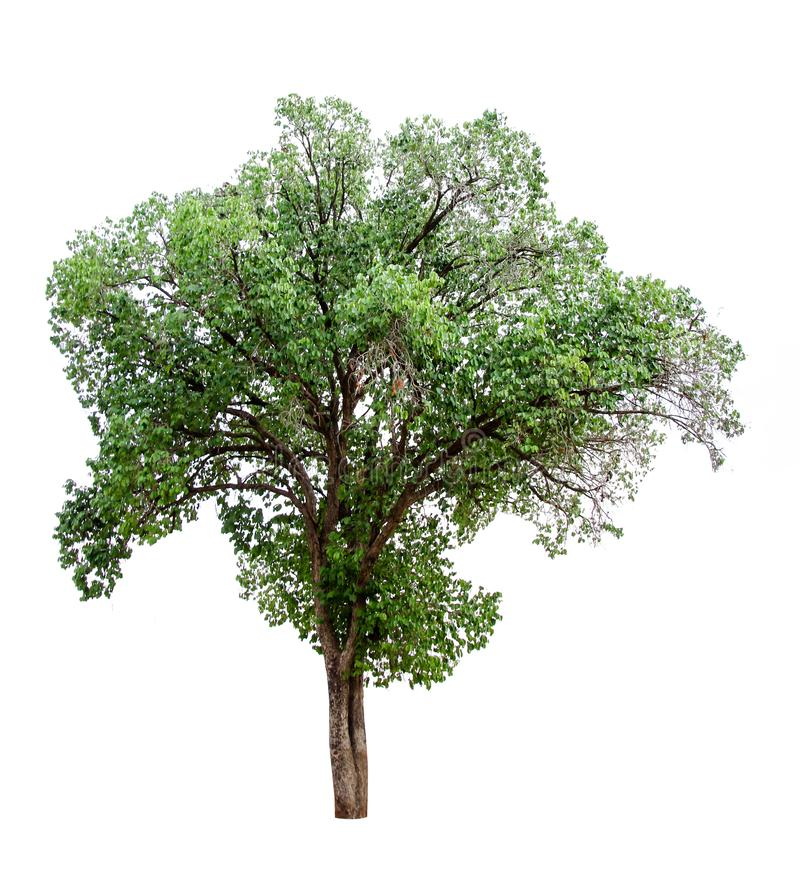 Collection of isolated trees on a white background. Beautiful tree It is suitable for use in decorating, decorating, and printing. Nature green forest stock image