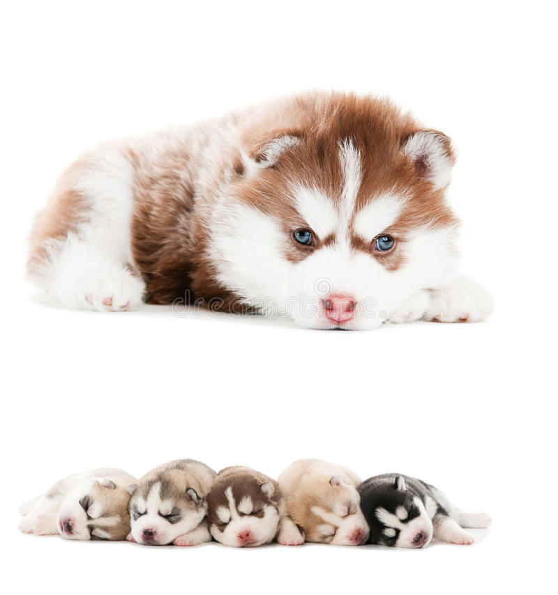 Collection of little puppy. Collection of little cute puppy of Siberian husky dog isolated royalty free stock photography