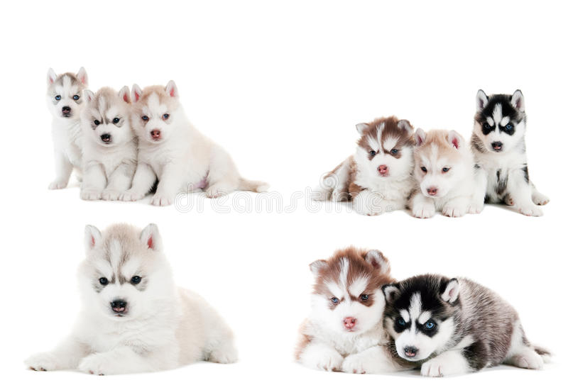 Collection of little puppy. Collection of little cute puppy of Siberian husky dog isolated stock images