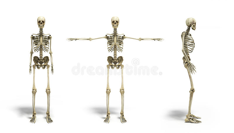 Collection of medical accurate 3d illustration of the human skeleton royalty free illustration