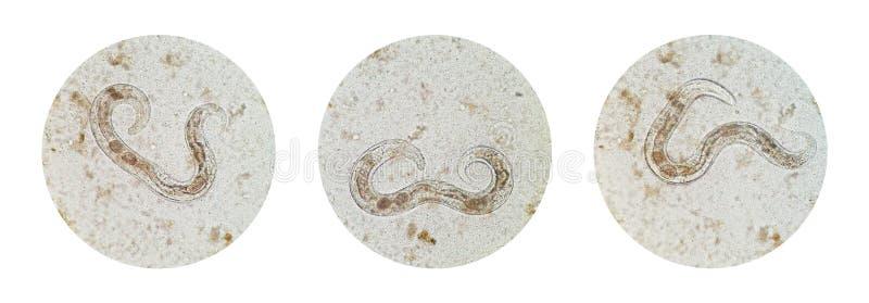 Collection microscopique de vue de Strongyl femelle dissipé adulte images stock