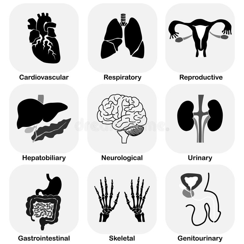 Free Collection Of Internal Organ (Human System) Stock Images - 45047854