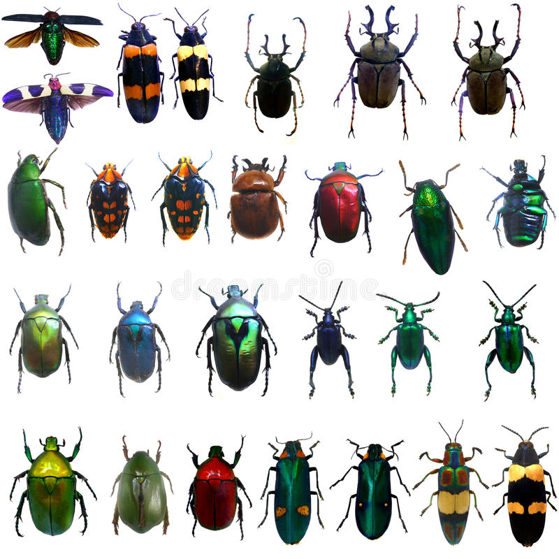 Free Collection Of Jewelry Beetle Royalty Free Stock Image - 69707266