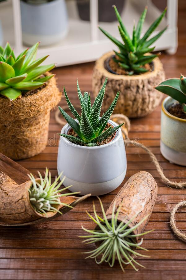 Free Collection Of Succulent Plants For Home Deco. Stock Photo - 178104250