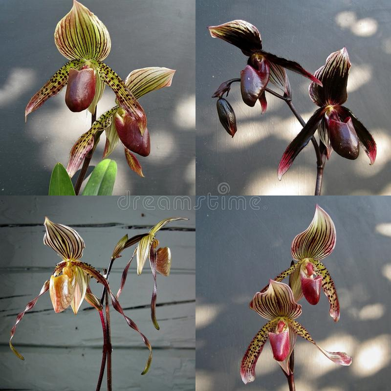 Collection of orchid Paphiopedilum crossbreed royalty free stock images
