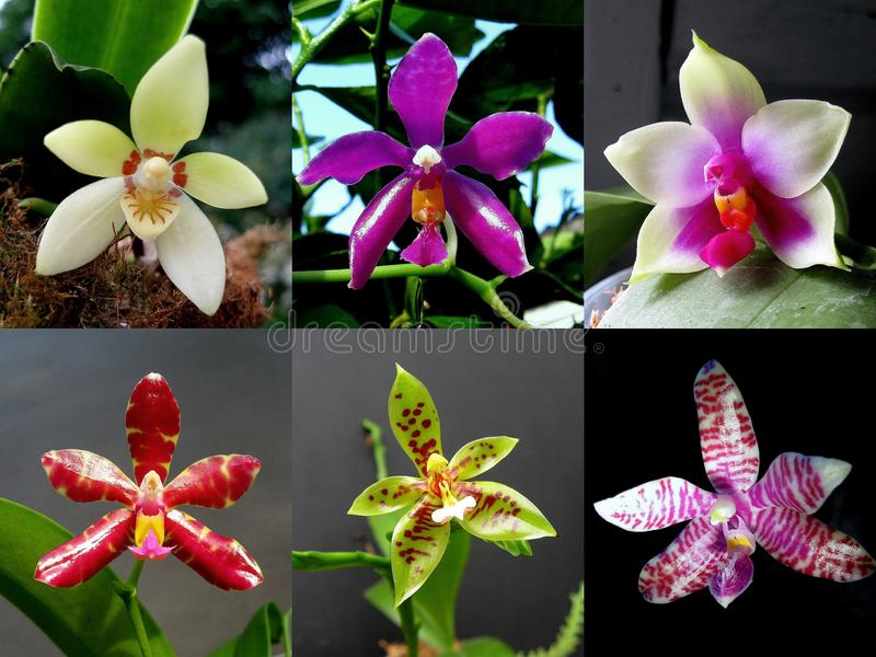 Collection of orchid Phalaenopsis royalty free stock photo