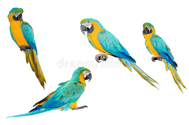 A collection of parrot macaws. A collection of parrot macaws on a white background royalty free stock photo