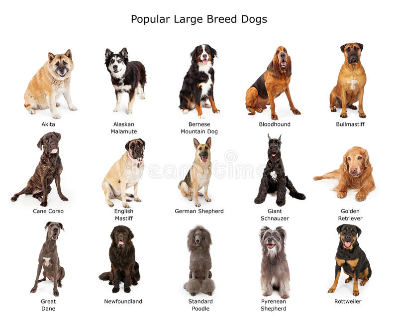 Collection of Popular Large Breed Dogs stock photo