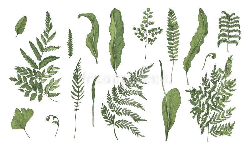 Collection réaliste de fougère Pousses, fronde, feuilles tirées par la main et tiges réglées Illustration colorée de vecteur illustration stock